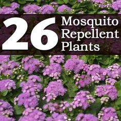 "Plant Care Today - 26 Mosquito Repellent Plants  http://plantcaretoday.com/26-mosquito-repellent-plants.html  --  Click on the link for more details and Share these ""natural repellent plants"" with your friends. They'll thank you for it!"