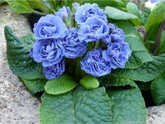 Primula BLUE SAPPHIRE