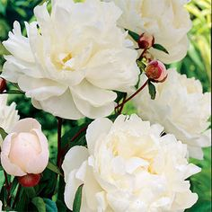 The most fragrant Peony of all, with double creamy-white blooms late in the season.