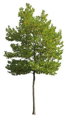 Small plane tree 2 - cutout trees