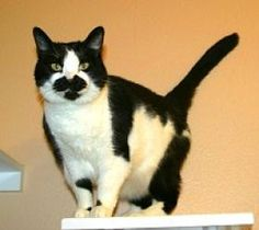 I'm Andromeda, a loving kitty with a funny mustache, and I'm available for adoption at Simply Cats in Boise, ID.  Repin this and help me find a forever home!