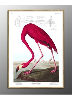 American Flamingo. Print #6500 - Poster - The Dybdahl Co