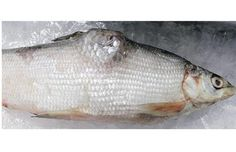 Canadian scientist links fish deformities to oilsands and American spills