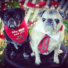 pugsofinstagram:  The bib, the necktie, those teeth, the lights! Simply pug-a-licious! The cute factor is off the charts here!