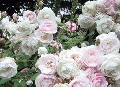 blush noisette # rosier grimpant de petit développement fleurissant du début de l'été jusqu'aux gelées
