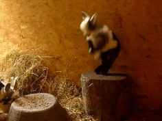 This goat who's just really pleased with her ability to jump on this tiny stump. | 23 Goats Who Cannot Believe They're Really Goats