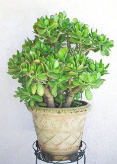 The jade plant is one of my very favorite succulents because of its beauty and low-maintenance nature. Learn how to care for jade AND grab my free succulents care ebook. You'll learn the top 5 ways I keep my succulent. Crassula Succulent, Crassula Ovata, Succulent Gardening, Planting Succulents, Succulent Plants, Propagate Succulents From Leaves, How To Water Succulents, Types Of Succulents, Jade Plant Care
