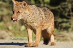 Zorro Rojo.Parque Nacional Ushuaia Ushuaia, Patagonia, Kangaroo, Fox, Red Fox, Park, Argentina, Animales, Foxes