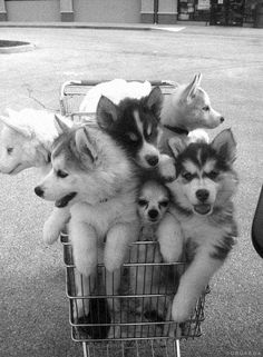 imposter in the cart - one dog does not belong here