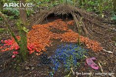 The fascinating Vogelkop bowerbird (Amblyornis inornata) belongs to a unique family of birds famed for their construction of complex structures known as 'bowers'