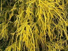 Chamaecyparis pisifera ' Golden Mop ' Dwarf Sawara Cypress