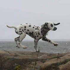 Our dalmatian Väinö on a stormy weather by the sea.