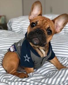 """1,612 Likes, 73 Comments - Bevo in the Big City (@bevo_frenchie) on Instagram: """"You're saying the cowboys won?? Whoops! I must have fallen asleep at halftime✭"""" French Bulldogs, Cute French Bulldog, French Bulldog Puppies, American Bulldog Puppies, Dogs And Puppies, Cute Puppies, Cute Dogs, Doggies, I Love Dogs"""