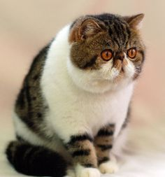 Top 10 cutest exotic short hair cat pictures