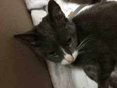 SALLY - A1097609 - - Brooklyn  Please Share:*** TO BE DESTROYED 11/30/16 *** ANOTHER CHANCE TONIGHT FOR SALLY – LET'S MAKE IT COUNT FOR THIS SUPER SWEET INJURED KITTY! -  Click for info & Current Status: http://nyccats.urgentpodr.org/sally-a1097609/