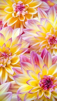 Wallpaper#flower#iphone