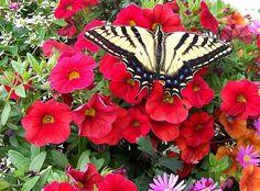 Swallowtail and Petunia's - Sharon Duguay #swallowtail #butterfly #petunias