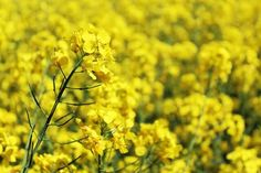 Rapeseed oil benefits for skin, hair and health covered in this article. Canola oil has a lot of healing properties that benefit our health.