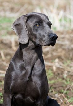 Weimaraner. Another dog breed to look for when we're ready to adopt again? I think so.