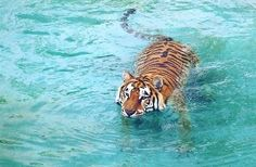 Not sure why I love pictures of Tigers & Elephants swimming