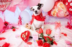 A Santa Monica Animal Shelter jack russell dog named Russell on Valentine's Day
