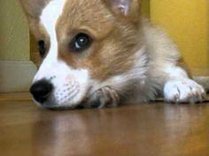 Corgi Puppy Can't Get Comfortable