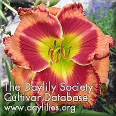 Plant database entry for Daylily (Hemerocallis 'Fox Hunter') with 9 images and 24 data details. Plant Information, Day Lilies, Tropical Flowers, Teaching Art, Perennials, Bloom, Lily, Plants, Image