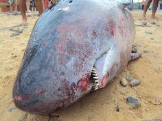 Localizado un cachalote pigmeo muerto en la playa de Costa Calma