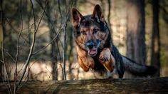 Bildergebnis für german shepherd dog