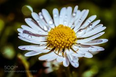 Daisy by JoergS-Photos Macro Photography #InfluentialLime