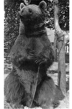 Corporal Wojtek, the Polish Soldier Bear Black Bear, Brown Bear, Battle Of Monte Cassino, Army History, Poland History, Bear Cubs, His Travel, My Heritage, World War Two