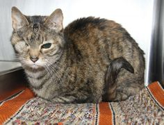 """Lilly"" is a sweet 16-year old female kitty who was surrendered (DUMPED!!) by her owner on March 22, 2014 along with her best friend and housemate (""Dopey"").  This beautiful senior citizen has a brown tabby short smooth coat with orange highlights, a long..."