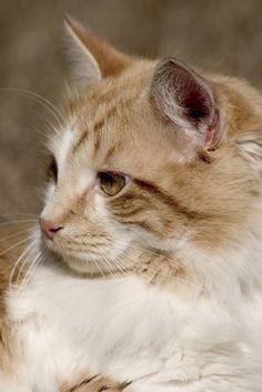 manx cats   Manx cat