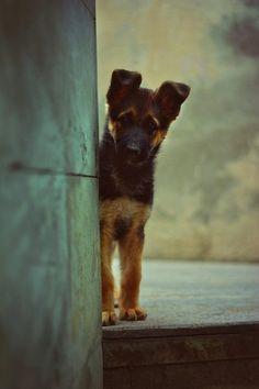 #dog #puppy #shepherd #cabin