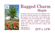 Rugged Charm Red Maple