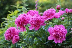 My pink garden