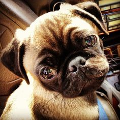 Pug puppy goes on a road trip.
