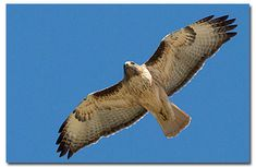 Red Tailed Hawk - messenger - shows up to tell me when I'm on the right path.