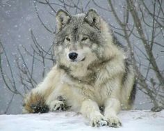 Gorgeous! I love wolves, they're SO BEAUTIFUL!!