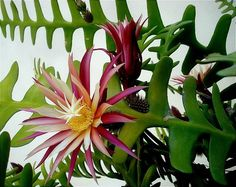 Epiphyllum anguliger, also known as the fishbone cactus. It flowers at night, and then only for a handful of nights each year. In the wild, it is only found in the rainforests of Chiapas, at a high altitude. However, people do successfully cultivate it as a rare houseplant.