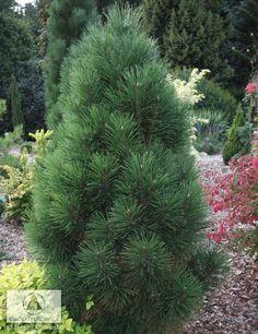 Pinus nigra 'Caprice' - Sosna czarna 'Caprice' - Szkółki Kurowscy