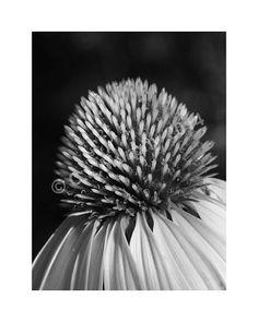 Photography Garden Photo Cone Flower Echinacea by CLMurphyCreative