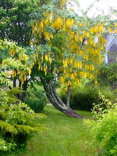 Golden Chain Tree  photo: Sarah Gayle Carter