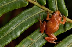 Scientific Name: Eleutherodactylus thorectes   Common Name: Macaya Breast-Spot Frog   Category: Frog   Population: Unknown   Threats To Survival: Habitat destruction due to charcoal production and slash-and-burn agriculture