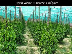 Récolte chez les producteurs de poivre Kâmpôt au Cambodge - David Vanille : Chercheur d'Épices Kampot, Vanille Bourbon, Plantation, Vineyard, David, Stuffed Peppers, Plants, Outdoor, Pepper