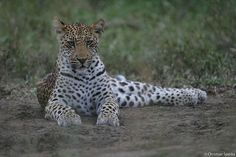 a young leopard