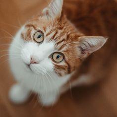 Wenn diese Augen 👀 voller Erwartung an dir hochblicken, weil du was leckeres zu essen 🍽 in der Hand hast obwohl, er weiß, dass er keinen einzigen Krümel bekommt 😂 man könnte meinen er war in seinem letzten Leben ein Hund 🐶 mit diesem treuherzigen Blick 😍⠀ —————————————————————————⠀ #kittensoftheday #instakittens #purrpurrpurr #cutekitty #cutecatcrew #catsoftheday #pleasantcats #magnificent_meowdels #kittenlovers #bestcat #purrfection #catloversworld #cutecatsofinsta #catsfollowers… Cats, Animals, Instagram, Eyes, Pet Dogs, Gatos, Animales, Animaux, Animal