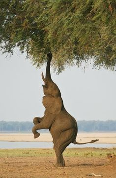 Great wildlife images Bipedal Elephant 2 by Ken Watkins Another balancing act from Ghikwenya concession, Zimbabwe Photo Elephant, Elephant Love, Elephant Eating, Happy Elephant, Animals And Pets, Funny Animals, Cute Animals, Animals Planet, Wild Animals