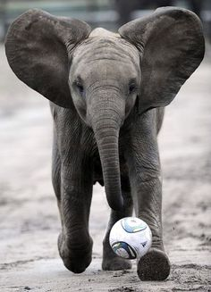 elephant playing striker