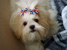 What a cute Lhasa Apso puppy